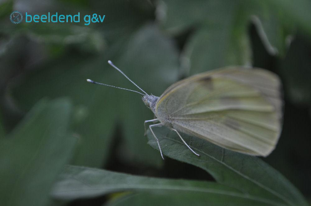 20150706 Verdwaasde vlinder 2