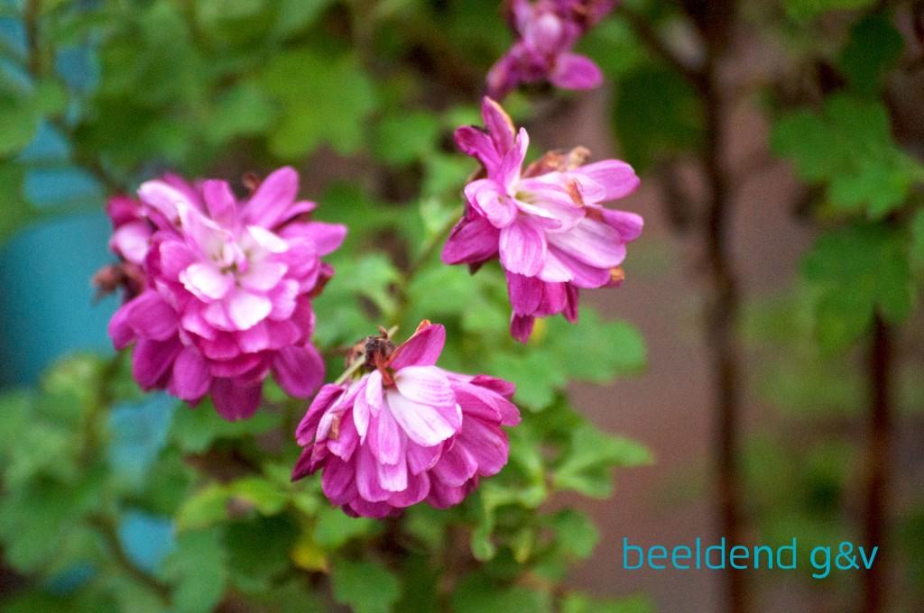 20151226 Bloeiende bloembollen 11