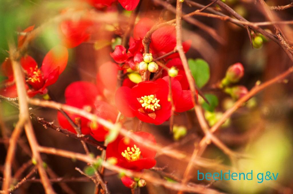 20151226 Bloeiende bloembollen 2