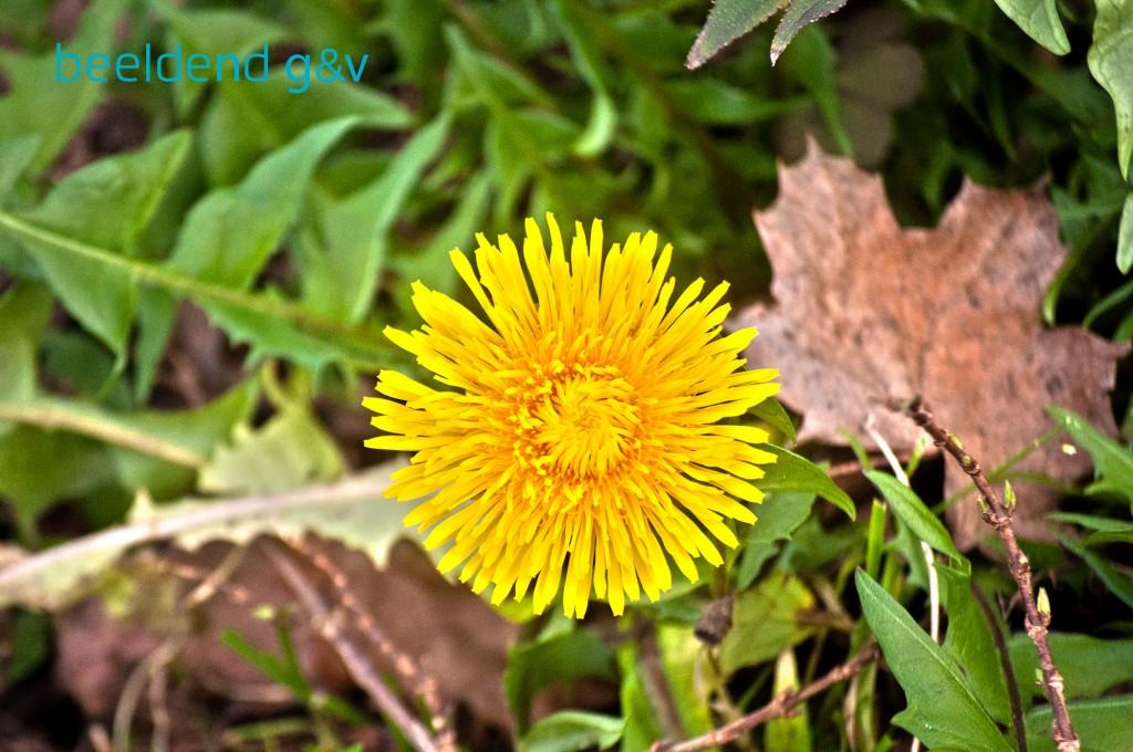 20151226 Bloeiende bloembollen 6