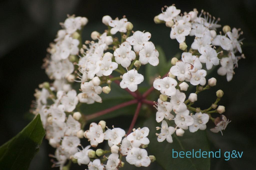20151226 Bloeiende bloembollen 7