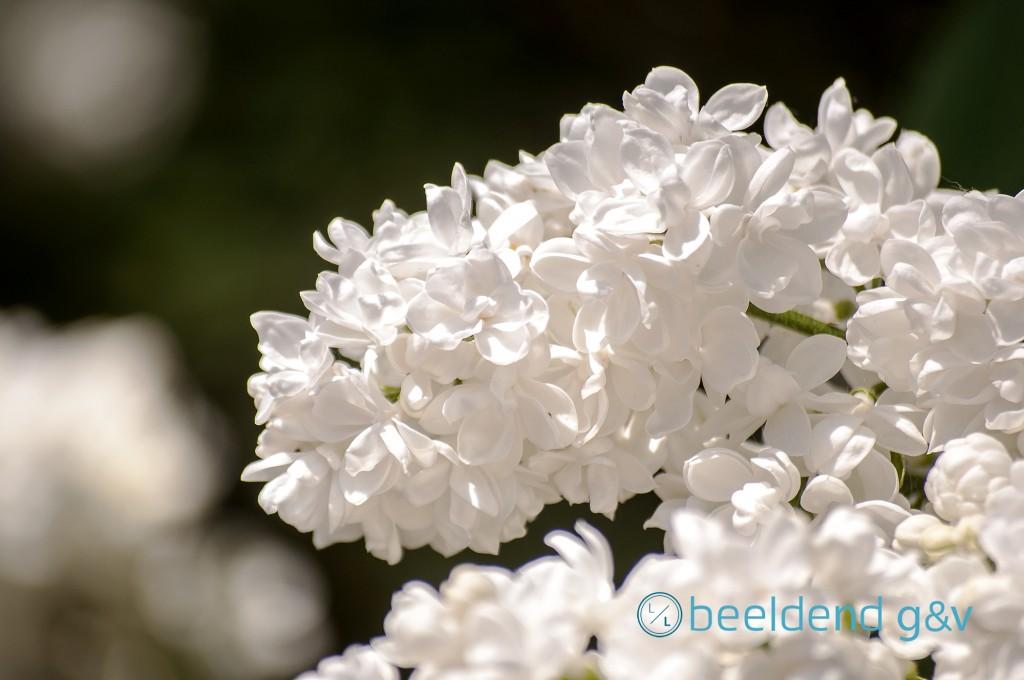 De witte  Sering 'Mme Lemoine'