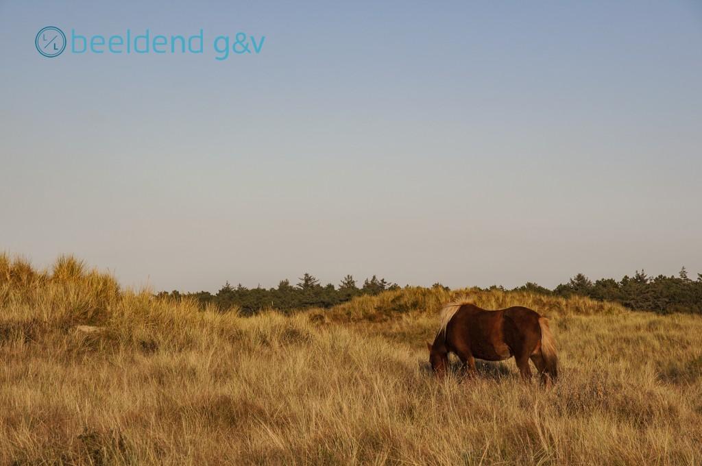 Paarden grazen ook in de duinen