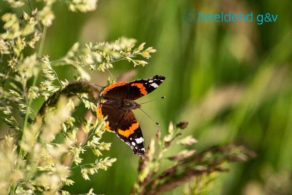 Vlinder Weesp Uitermeer