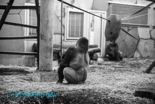 Gorilla's in het binnenverblijf