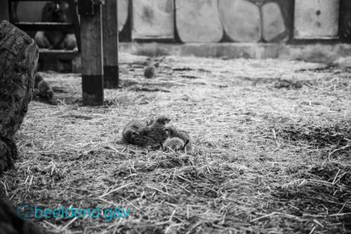 Stokstaartjes bij de gorilla's