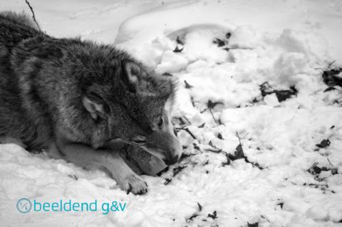 Wolf aan de maaltijd